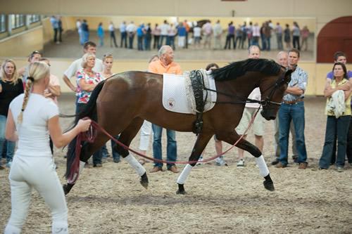Demonstratie van de training van jonge paarden.